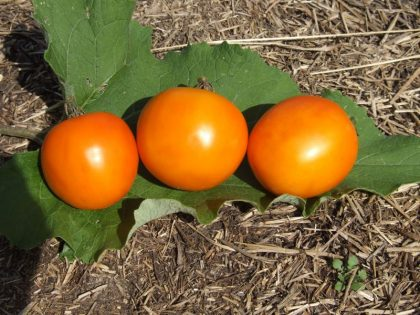 Kimberton Hills Yellow tomato seeds