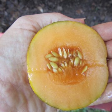 Minnesota Midget Melon Seeds