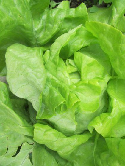 Nancy Butterhead Lettuce Seeds