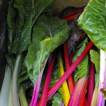 Rainbow Swiss Chard Seeds