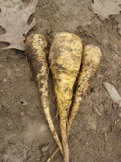 TURGA Parsnip Seeds