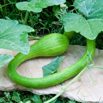 Tromboncino Summer Squash Seeds