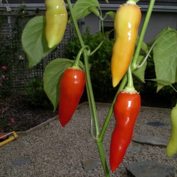 aji crystal pepper seeds