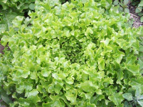 austrian green leaf