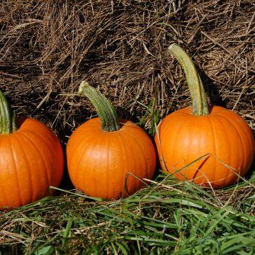 baby pam pumpkin seeds