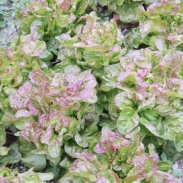 Blushed Butter Lettuce Seeds