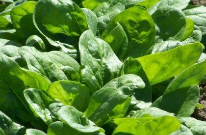 butterflay spinach seeds
