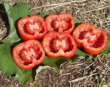 Canadian Stuffing Tomato Seeds