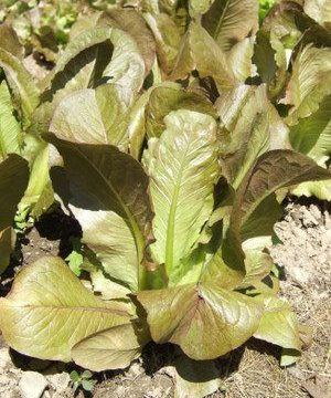 Heirloom Cimmaron Romaine Lettuce