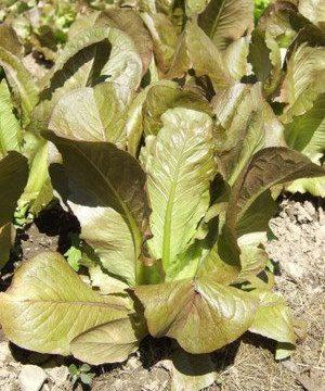 Heirloom Cimmaron Romaine Lettuce
