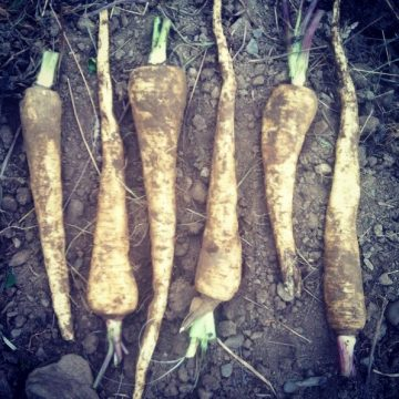Cobham Marrow Parsnip Seeds