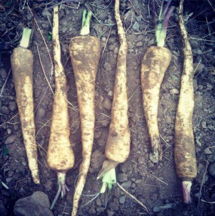 Cobham Marrow Parsnip Seeds