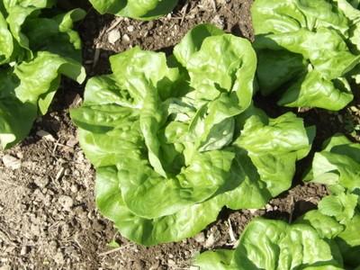 Ermosa Butterhead Lettuce Seeds