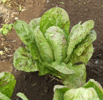 Heirloom Forellenschluss Lettuce Seeds