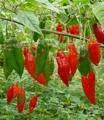 hot paper lantern habanero seeds