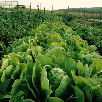 Jericho Romaine Lettuce Seeds