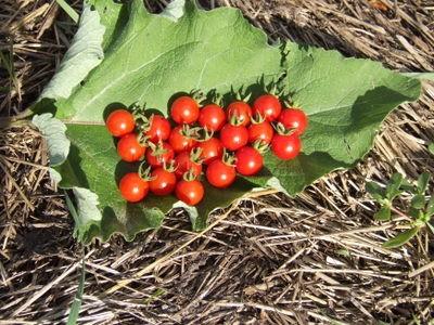 matts wild cherry