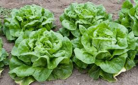May Queen Lettuce Seeds