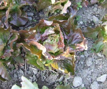 Mikola Red Butterhead Lettuce