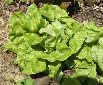 North Pole Lettuce Seeds