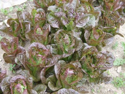 Rubens Red Romaine Lettuce