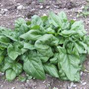 steadfast-spinach