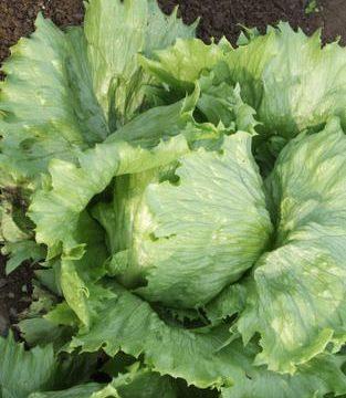 Summertime Iceburg Lettuce Seeds