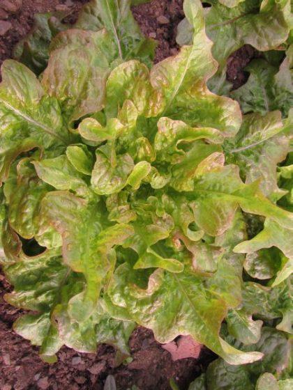 bronze oak leaf lettuce