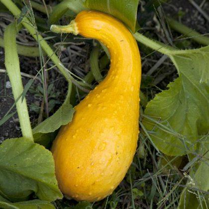 yellow crookneck squash seeds