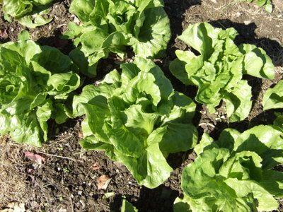 anuenue batavian lettuce seeds