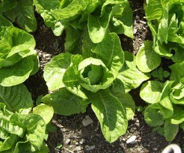 Kalura Romaine Lettuce Seeds