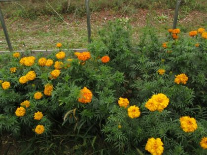 African Marigold Flower Seeds