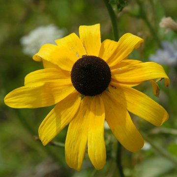 Rudbeckia Black eyed susan seeds