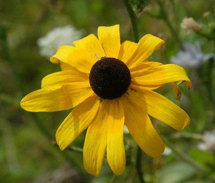 Rudbeckia Black eyed susan seeds