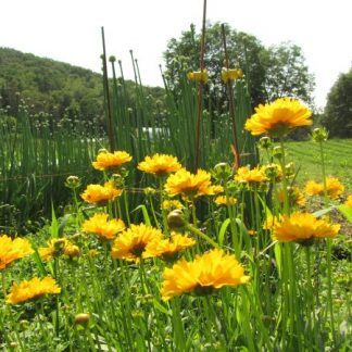Perennial flowers archives turtle tree seed initiative coreopsis mightylinksfo