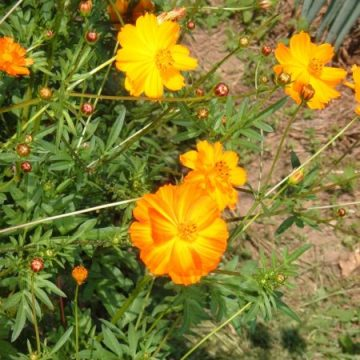 Orange Cosmos Flower Seeds