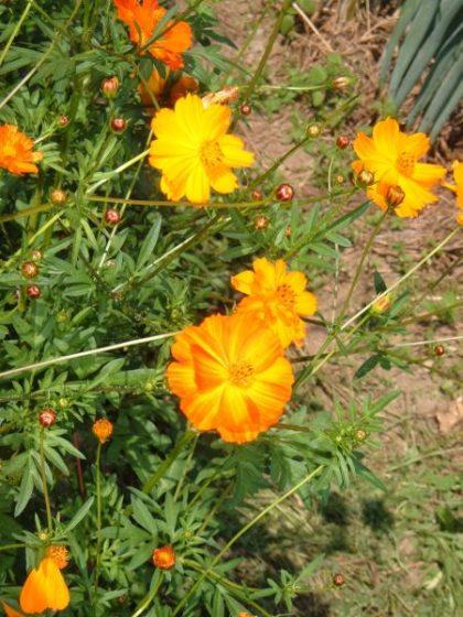 Orange Cosmos Flower Seeds
