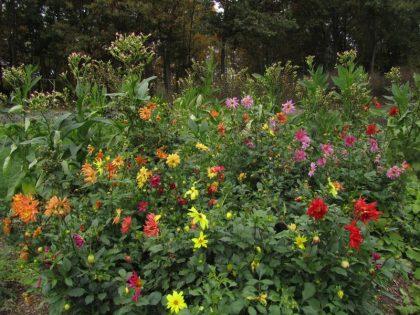 Dahlia flower seed mix
