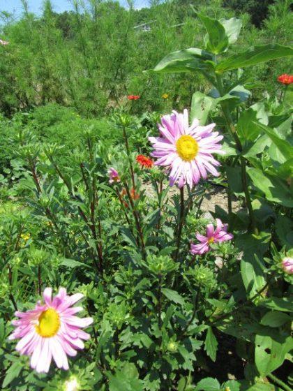 Dianes pink aster seeds