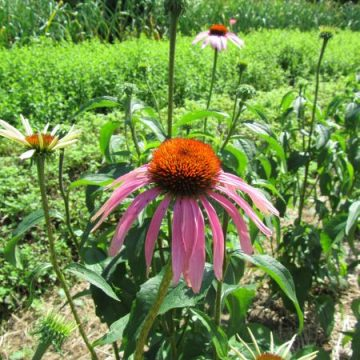 Heirloom Purpurea Echinacea Seeds