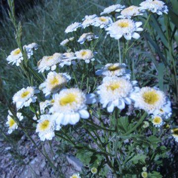 Feverfew Herb Seeds