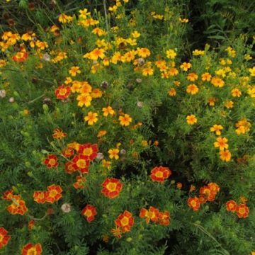 Gem Marigold Seed Mix