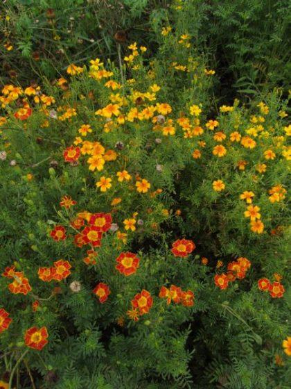 Gem Marigold Seed Mix