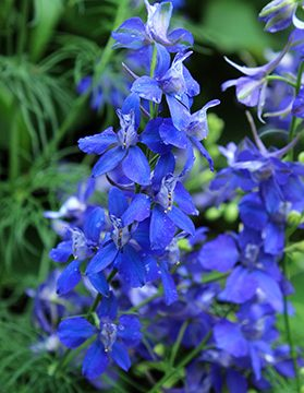 Blue Spire Larkspur Seeds