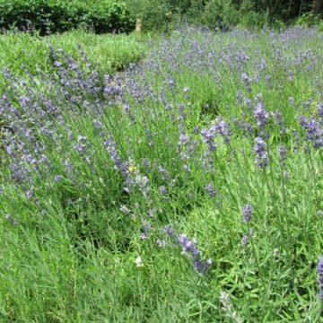 Biodynamic Lavender Seeds