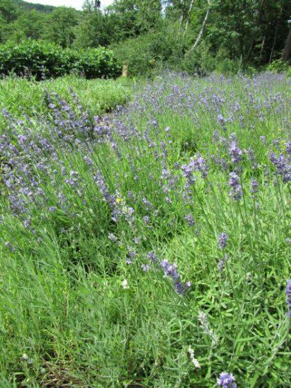 Biodynamic Lavender Seeds