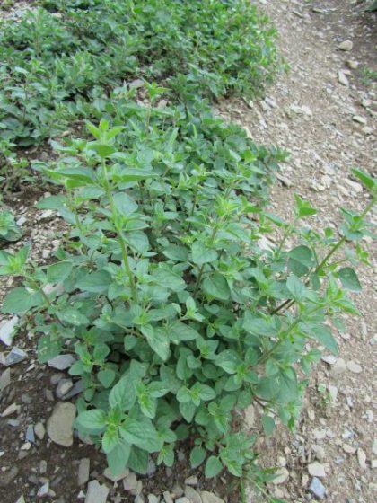 Sweet Marjoram Herb Seeds