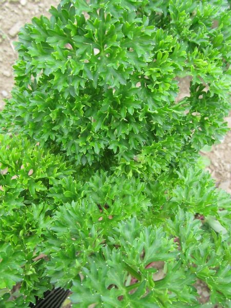 Moss Curled Parsley