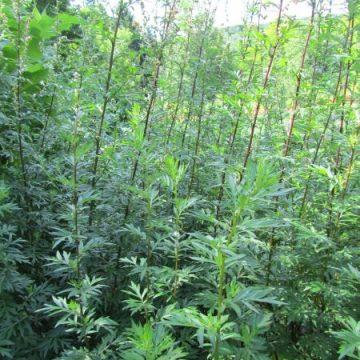 Mugwort Perennial Herb Seeds
