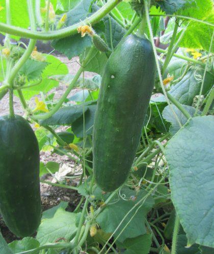 Persian Cucumber Seeds